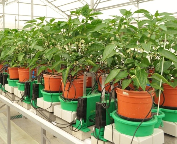 Bio-stimulants Effect on Pepper Plant Performance Case Study
